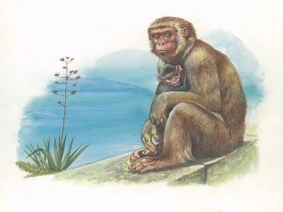 Barbary Macaque Macaca Sylvanus with a Young--Giclee Print