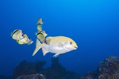 Barberfish (Johnrandallia Nigrirostris) Cleaning Yellow Sea Chub (Kyphosus Lutescens)-Reinhard Dirscherl-Photographic Print