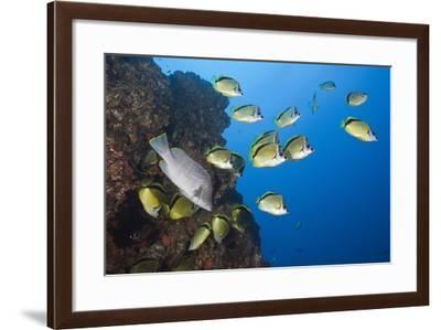 Barberfish School (Johnrandallia Nigrirostris)-Reinhard Dirscherl-Framed Photographic Print