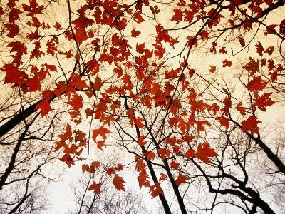 Bare Branches and Red Maple Leaves Growing Alongside the Highway-Raymond Gehman-Premium Photographic Print