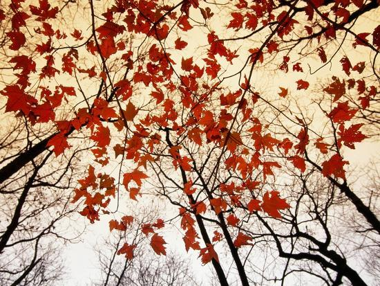 Bare Branches and Red Maple Leaves Growing Alongside the Highway-Raymond Gehman-Photographic Print