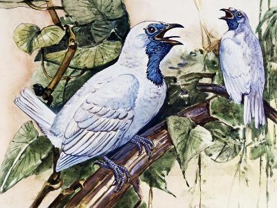 Bare-Throated Bellbird (Procnias Nudicollis), Cotingidae--Giclee Print