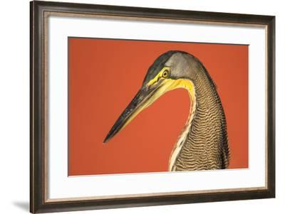 Bare-Throated Tiger Heron (Tigrisoma mexicanum), Tortuguero, Costa Rica--Framed Photographic Print