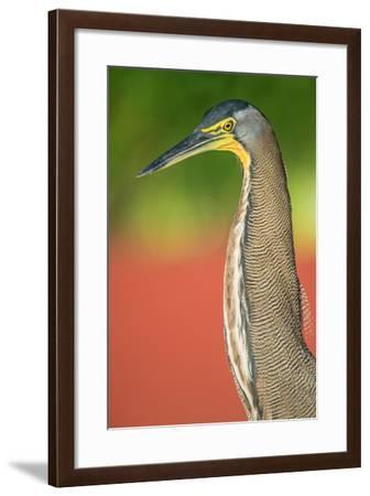 Bare-Throated Tiger Heron (Tigrisoma mexicanum), Tortuguero, Costa Rica--Framed Photographic Print