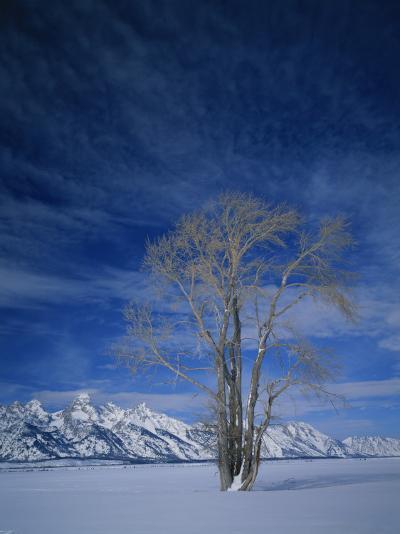 Bare Tree in Snowy Landscape, Grand Teton National Park, Wyoming, USA-Scott T^ Smith-Photographic Print