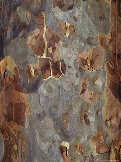 Bark Detail of the Spotted Gum Eucalypt Tree, Corymbia Maculata, Australia-Jason Edwards-Photographic Print