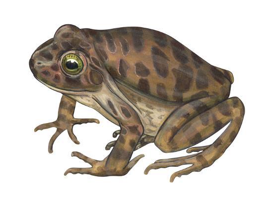 Barking Frog (Eleutherodactylus Latrans), Amphibians-Encyclopaedia Britannica-Art Print