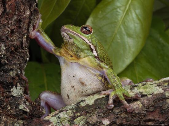 Barking Treefrog Climbs a Tree-George Grall-Photographic Print