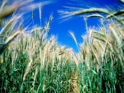 https://imgc.artprintimages.com/img/print/barley-field-in-july-denmark_u-l-p3ryix0.jpg?p=0