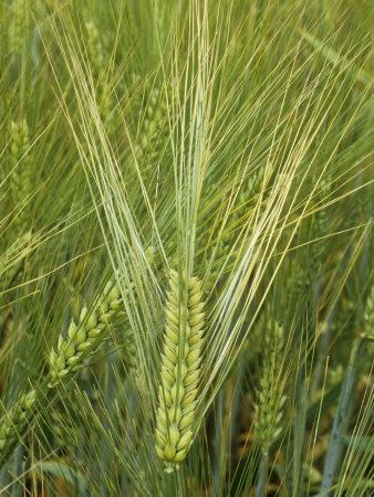 Barley Flowers (Hordeum Vulgare)-Walt Anderson-Photographic Print