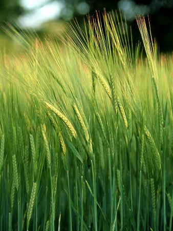 https://imgc.artprintimages.com/img/print/barley-in-summer-scotland_u-l-q10qwoa0.jpg?p=0
