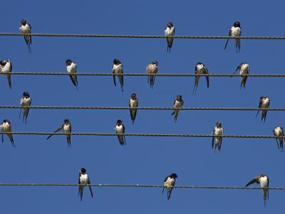 Barn (European) Swallow (Hirundo Rustica) on Wire, Overberg, Western Cape, South Africa, Africa-Ann & Steve Toon-Photographic Print