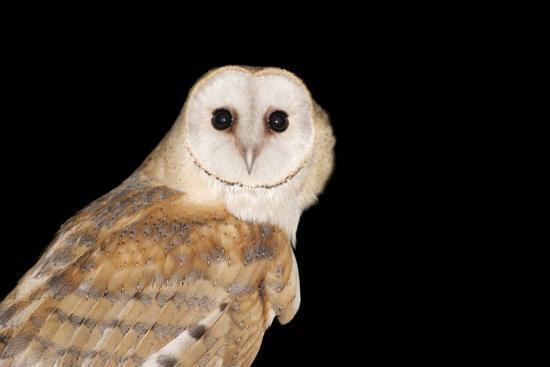 Barn Owl At Night--Photographic Print