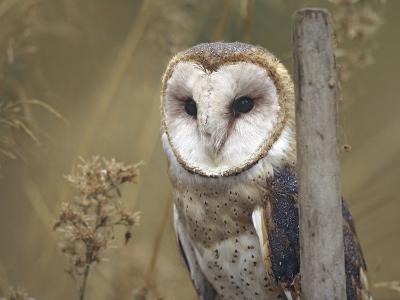 Barn Owl, British Columbia, Canada-Tim Fitzharris-Photographic Print