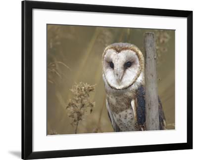 Barn Owl, British Columbia, Canada-Tim Fitzharris-Framed Photographic Print