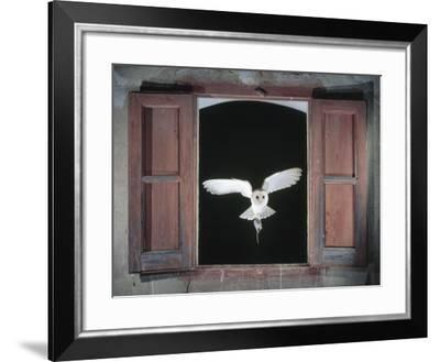 Barn Owl Flying into Building Through Window Carrying Mouse Prey, Girona, Spain-Inaki Relanzon-Framed Photographic Print