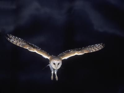 Barn Owl in Flight, at Night--Photographic Print