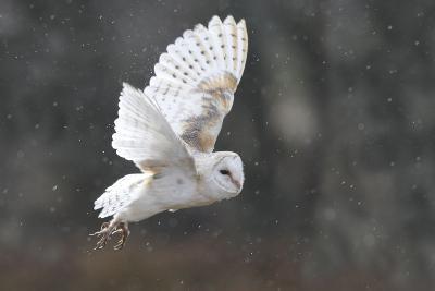 Barn Owl in Flight--Photographic Print