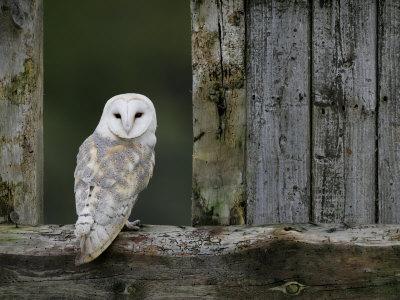 https://imgc.artprintimages.com/img/print/barn-owl-in-old-farm-building-window-scotland-uk-cairngorms-national-park_u-l-q10nz7p0.jpg?p=0