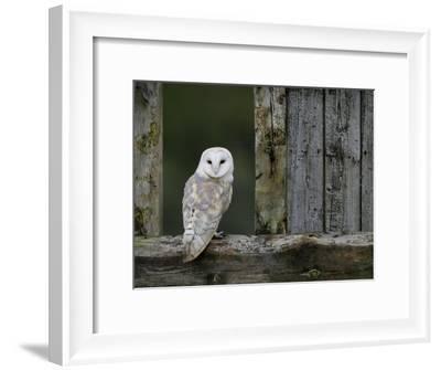 Barn Owl, in Old Farm Building Window, Scotland, UK ...