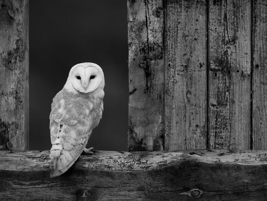 Barn Owl, in Old Farm Building Window, Scotland, UK Cairngorms National Park-Pete Cairns-Photographic Print