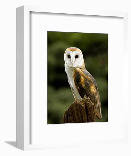 Barn Owl on Stump-Russell Burden-Framed Photographic Print