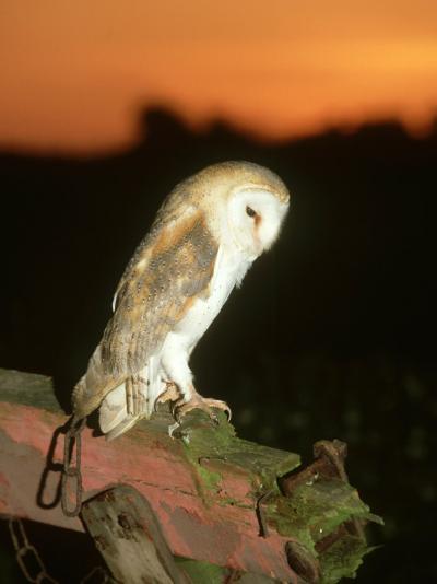 Barn Owl, Perched on Plough at Sunset-Mark Hamblin-Photographic Print