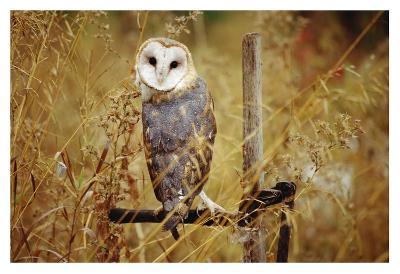 Barn Owl perching among dry grasses, British Columbia, Canada-Tim Fitzharris-Art Print
