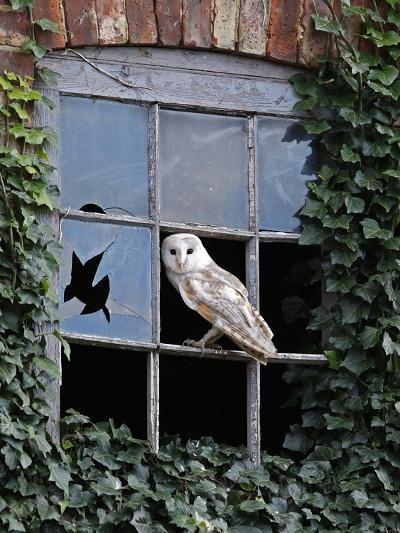Barn Owl Sitting in Old Farm Window, Tyto Alba, Norfolk-Paul Hobson-Photographic Print