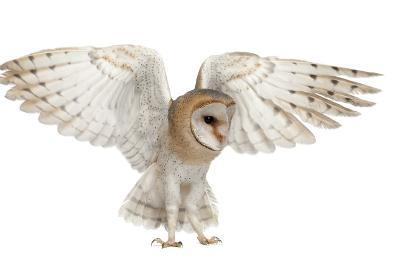 Barn Owl, Tyto Alba, 4 Months Old, Flying against White Background-Life on White-Photographic Print