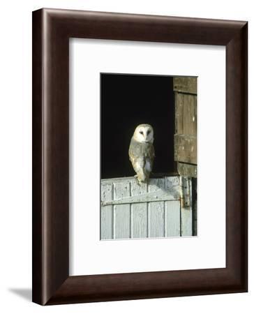 Barn Owl, Tyto Alba Adult Perched on Stable Door, Scotland Cairngorms National Park, Scotland-Mark Hamblin-Framed Photographic Print