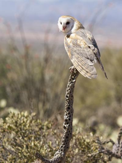 Barn Owl (Tyto Alba), Arizona, USA, Controlled Situation-Mary Ann McDonald-Photographic Print