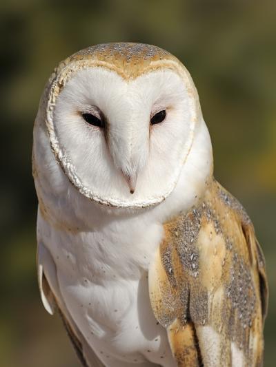 Barn Owl (Tyto alba) at the Sonoran Desert Museum, Tucson, Arizona, USA-Tim Zurowski-Photographic Print