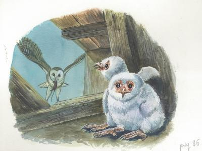Barn Owl Tyto Alba Bringing Food to Chicks--Giclee Print