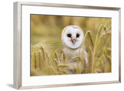 Barn Owl (Tyto Alba), Captive, Cumbria, England, United Kingdom, Europe-Ann & Steve Toon-Framed Photographic Print