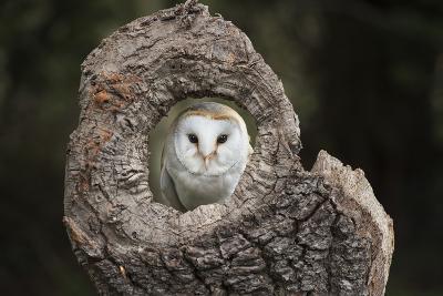Barn Owl (Tyto Alba), Herefordshire, England, United Kingdom-Janette Hill-Photographic Print
