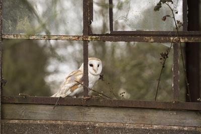 https://imgc.artprintimages.com/img/print/barn-owl-tyto-alba-herefordshire-england-united-kingdom_u-l-pwfu3r0.jpg?artPerspective=n