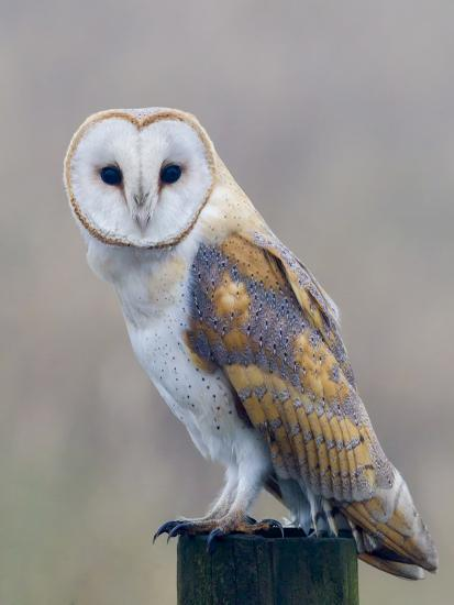 Barn Owl (Tyto Alba), Resting Perched on a Roadside Wooden Stump, Norfolk, England, United Kingdom-Garry Ridsdale-Photographic Print