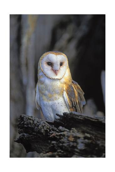 Barn Owl-Lantern Press-Art Print