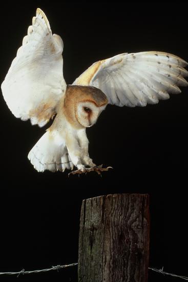 Barn Owl-Andy Harmer-Photographic Print