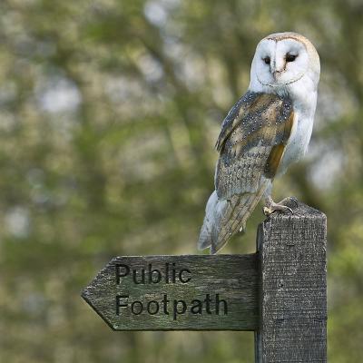 Barn Owl-Linda Wright-Photographic Print