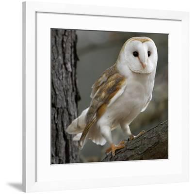 Barn Owl-Linda Wright-Framed Photographic Print