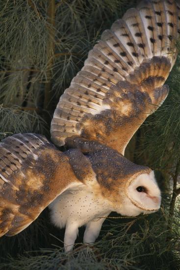 Barn Owl-DLILLC-Photographic Print