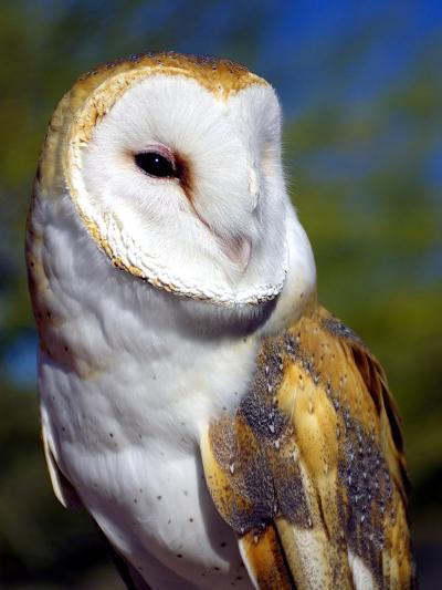 Barn Owl-Douglas Taylor-Photographic Print