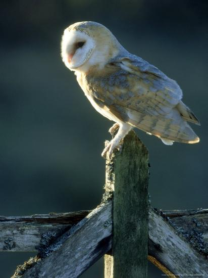 Barn Owl-Mark Hamblin-Photographic Print