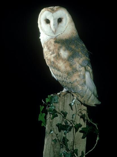 Barn Owl-Mark Hamblin-Photographic Print