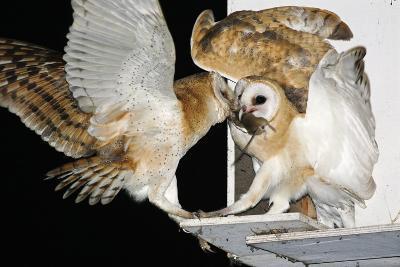 Barn Owls Feeding on a Rat--Photographic Print