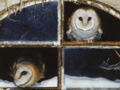 https://imgc.artprintimages.com/img/print/barn-owls-looking-out-of-a-barn-window-germany_u-l-q10o1zl0.jpg?artPerspective=n