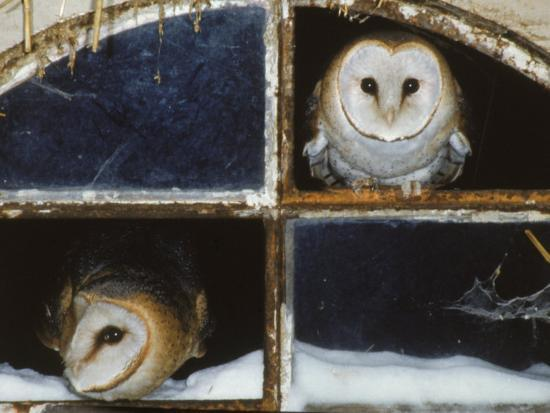 Barn Owls Looking out of a Barn Window Germany-Dietmar Nill-Photographic Print