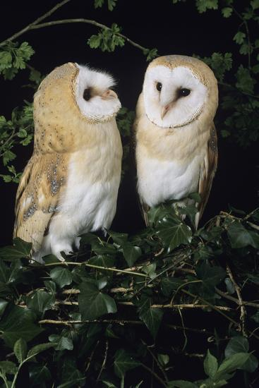 Barn Owls-David Aubrey-Photographic Print